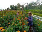 seorang-petani-sedang-menunjukan-bunga-gumitir-di-lahan-sawahnya-di-banjar-apit-yeh.jpg