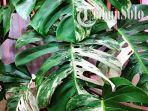tanaman-langka-ini-5-keistimewaan-monstera-variegata-yang-harganya-fantastis-rp-225-juta.jpg