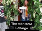 tangkapan-layar-video-tiktok-dua-pohon-tanaman-hias-monstera-variegata-besar.jpg