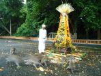 upacara-tumpek-uye-di-alas-kedaton-tabanan_20161126_234615.jpg