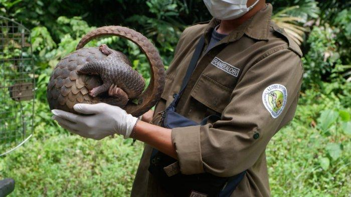 20210407 Pelepasliaran satwaliar sebanyak enam ekor satwa liar yang dilindungi di salah satu Hutan Konservasi di Bangka , Selasa (6/4/2021)