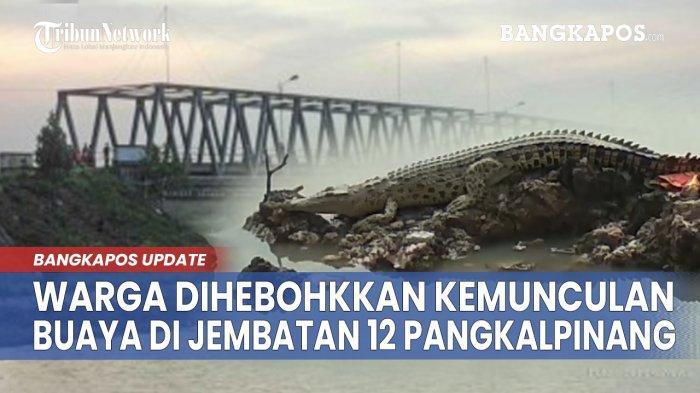Buaya Tiba-tiba Muncul di Sungai Jembatan 12 Pangkalpinang, Ada yang Main Lempar ke Arah Buaya