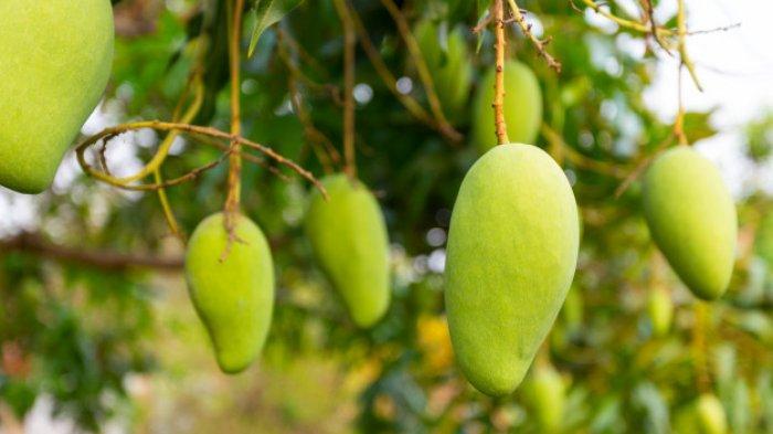 Hasil Fotosintesis Pohon Mangga