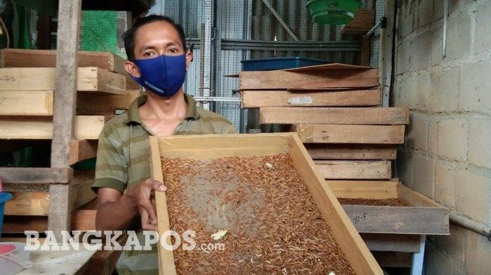 Berawal dari Hobi, Acik Raup Jutaan Rupiah Jadi Peternak Ulat Hongkong