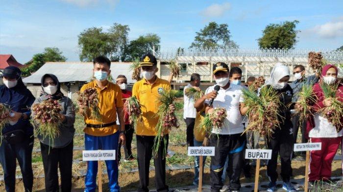 Bupati Bangka Panen Perdana Bawang Merah di Kebun Demplot, Lahan 0,1 Hektare Hasilkan 500-600 Kg