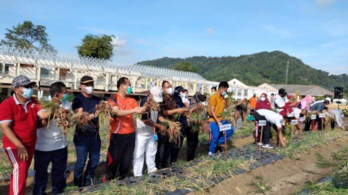 Bupati Bangka Mulkan melaksanakan panen perdana kebun demplot bawang merah di halaman eks Kantor Bupati Bangka, Jumat (11/06/2021)