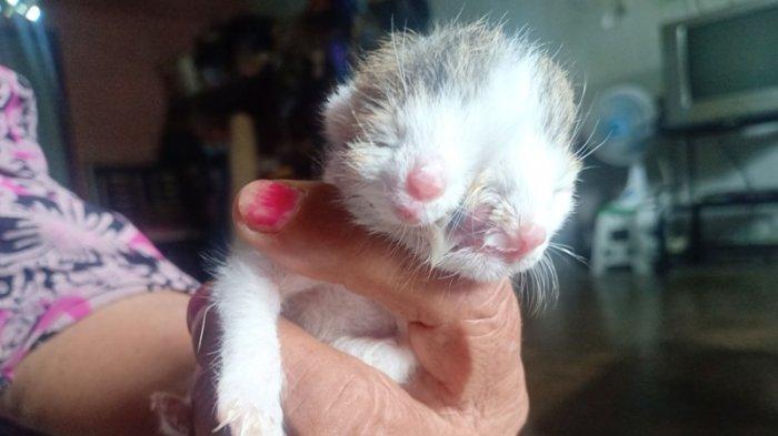 Unik, Induk Kucing Milik Surati Warga Sungailiat Lahirkan Bayi Kucing Berwajah Dua