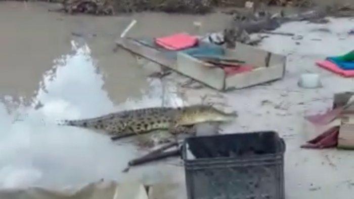 Buaya Bangka Tiba-tiba Muncul di Tepian Sungai Desa Nyelanding, Membuat Penambang Panik