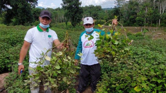 Sukses Lakukan Penanaman Nilam, Azib Raih Omzet Ratusan Juta Hingga Ekspor Minyak Nilam ke Sumatera