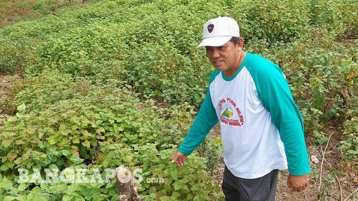 Azib Tetap Berusaha Memperkenalkan Tanaman Nilam, Begini Kata Ketua HKTI Bangka Selatan