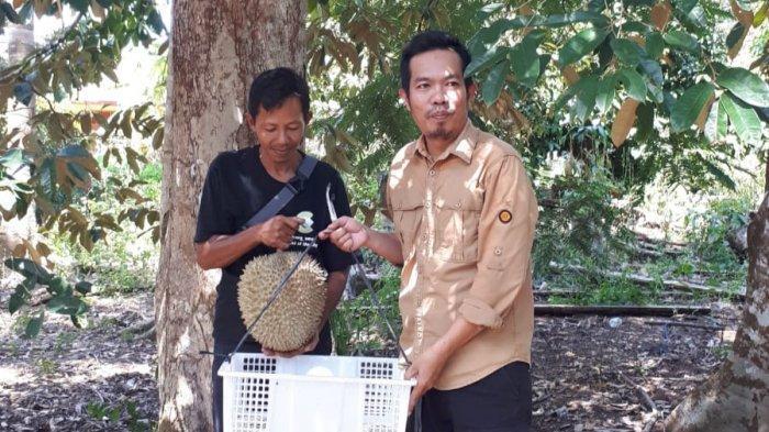 'Si Udang Merah' Ramai Diburu Penikmat Durian, Kakak Beradik Asal Desa Pelangas Ini Sampai Kewalahan