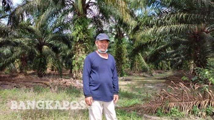 Satu Bulan bisa Panen 30 Hingga 40 Ton, Athung Petani Kelapa Sawit Sukses Kuliahkan Anak Jadi Dokter