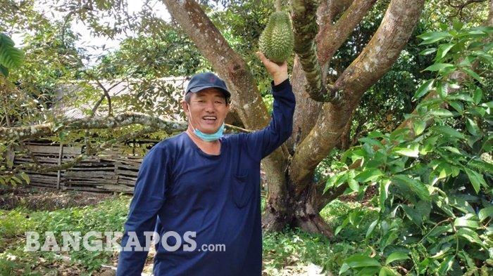 Lezat dan Nikmatnya Durian Cumasi dari Kebun Athung, Isinya Tebal Berwarna Kuning Menggoda