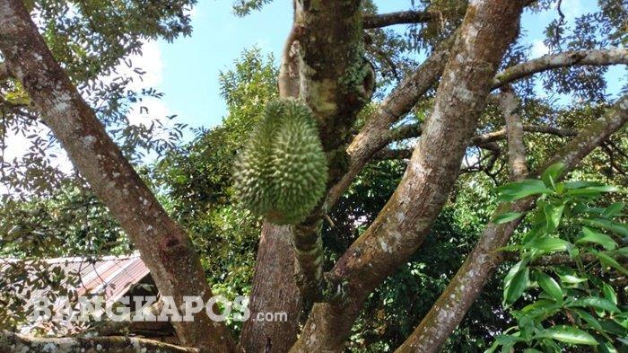 Pohon Durian Cumasi di kebun Athung