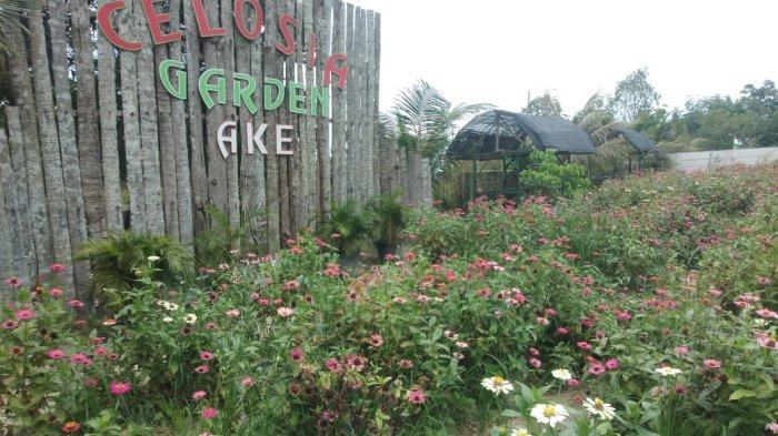 Taman Bunga Celosia Garden Ake Sungailiat. Tempat wisata yang berjarak sekitar 5-10 menit dari pusat kota Sungailiat, Bangka, taman bunga Celosia Garden Ake yang terletak di Kelurahan Sinar Baru.