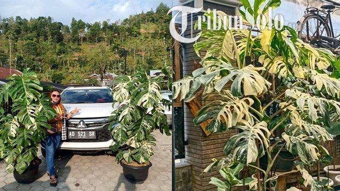 Rp225 Juta dari Sri Hastuti untuk MonsteraVariegataBelum Seberapa, Soimah Beli Rp450 juta