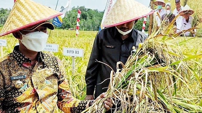 Total Luas Tanam Padi Capai 5.579,9 Ha, Ini Jumlah Kebutuhan Beras di Kabupaten Bangka