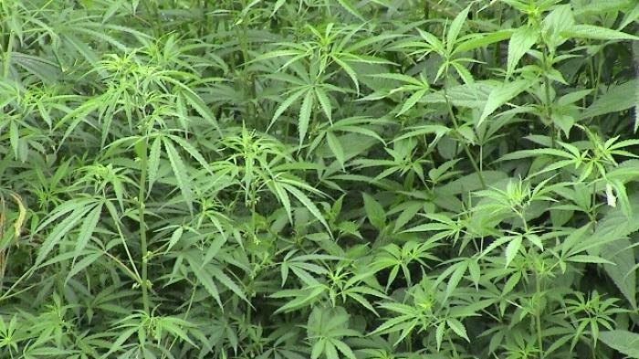 Amankah Jika Ganja Dijadikan Obat Herbal?