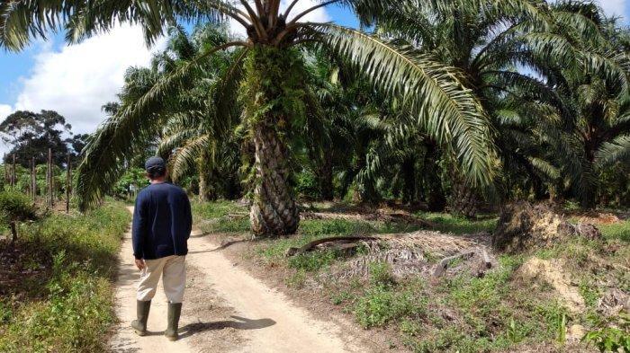 Athung, petani kelapa sawit, warga Kelurahan Lubuk Kelik Kecamatan Sungailiat