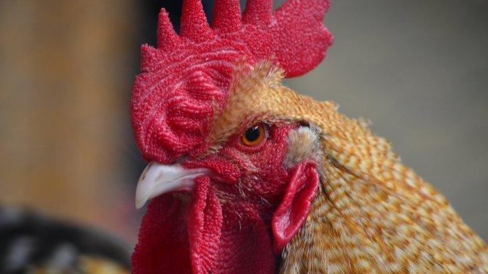 Seekor Ayam Jantan Bunuh Pemiliknya saat Berada di Laga Sabung, Tertusuk Pisau yang Terikat di Kaki