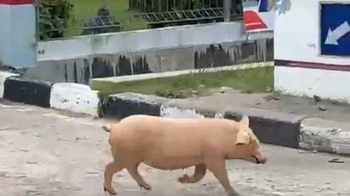 Babi di Sungailiat Terancam Langka, Ribuan Ekor Mati Terserang Wabah Flu Afrika, Tersisa 670