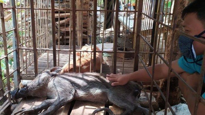Babi Hutan Ini Bikin Heboh Warga, Berkaki Aneh, Hingga Makanan yang Tak Biasa