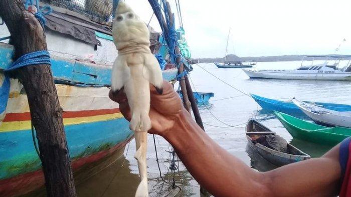 Bayi ikan hiu yang disebut mirip wajah manusia ditemukan nelayan di Rote Ndao, NTT.