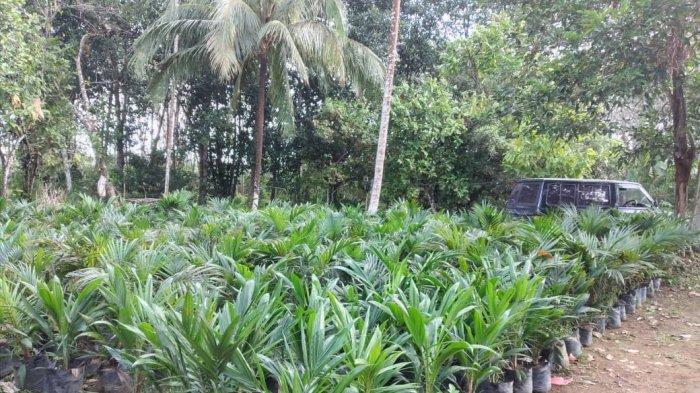 Harga TBS Sawit Tembus Rp2.000 per Kg, Petani Berlomba Perluas Kebun, Penangkar Bibit Kewalahan