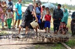 Konflik Buaya Vs Manusia, Predator Ganas  di Sungai Upang Bangka Ditaklukkan Pakai Ular Sabak