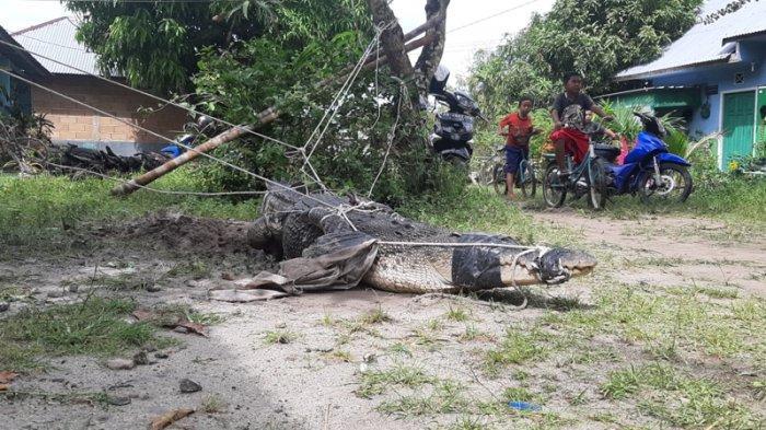 AKSI PAWANG BUAYA BELITUNG Beraksi Menaklukkan Reptil Muara, Maman Hanya Pakai Pipa dan Tali Rotan