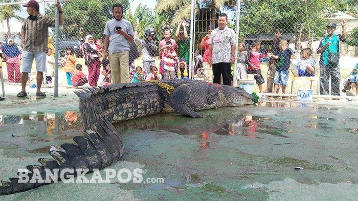 Buaya Ompong Bobot Setengah Ton Sambar Kaki Abdullah di Sungai Kayubesi, Begini Nasib Korban