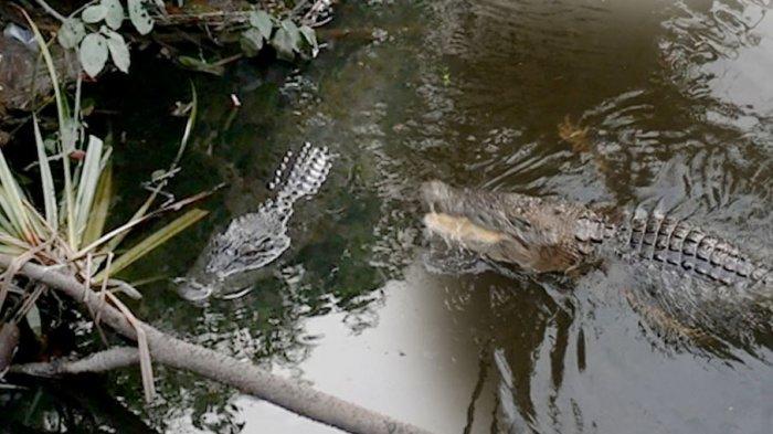 BUAYA Pemakan Kerupuk hingga Cerita Dijaga Dukun dan Pantangan Tidak Boleh Buang Benda Ini ke Sungai