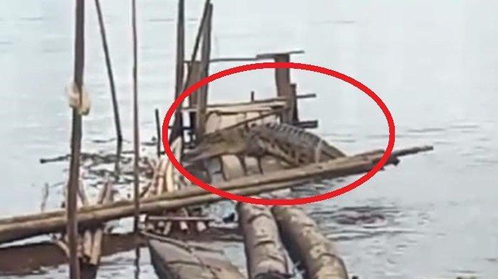 Geger, Kemunculan Buaya Empat Meter Naik ke Lanting Batang Kayu Milik Warga