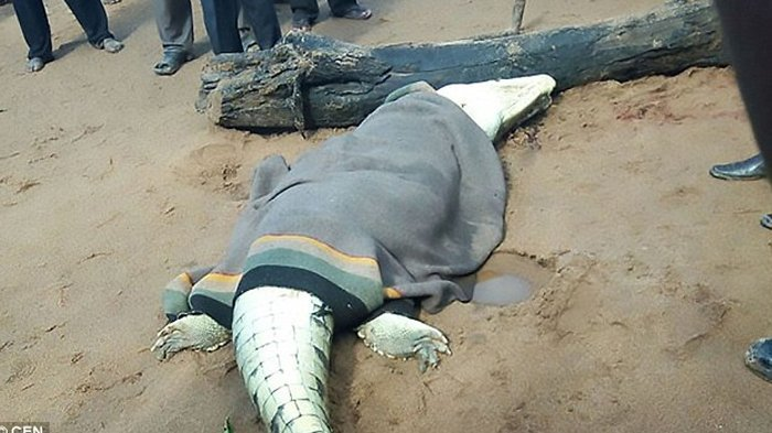 Buaya Pemangsa Manusia Ditemukan Mati Terjerat, Keluarga Puas Lihat Perut Buaya Dibelah