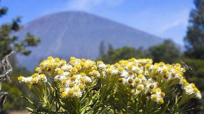 Bunga Edelweiss di Gunung Semeru.