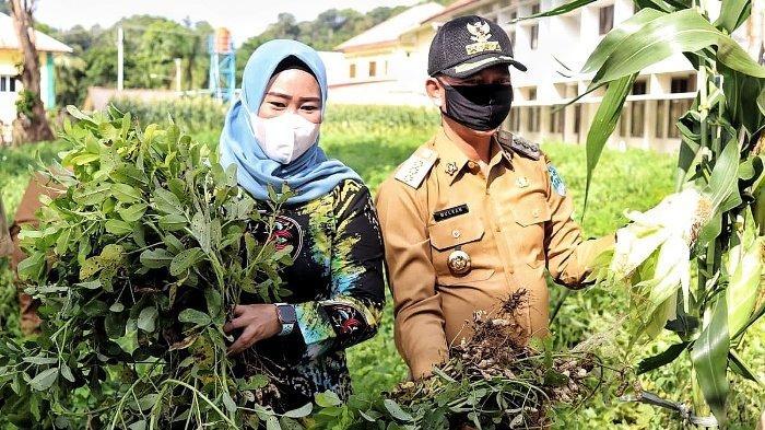 Bupati Bangka, Mulkan bersama Ketua PKK Kabupaten Bangka Yusmiati, panen kacang tanah dan jagung, Selasa (8/12/2020) di lahan eks Kantor Bupati Bangka.