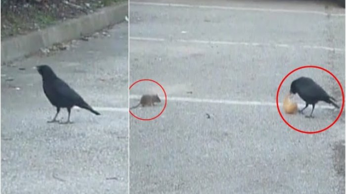 Sungguh Menyentuh Hati, Sang Gagak yang 'Baik Hati' Mau Berbagi Makanan dengan Tikus, Ini Videonya
