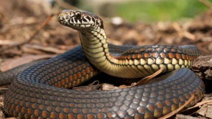 Wujud Ular Viper Beda dari Ular Lain Viral di TikTok, Dikenal Mematikan Jika Kena Racunnya