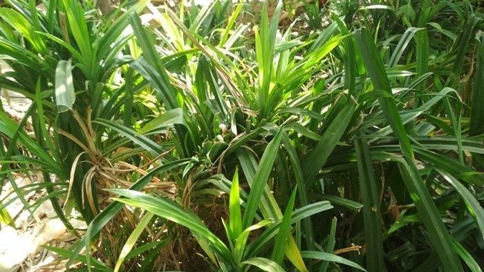 Tambahkan Daun Pandan saat Memasak Nasi Bisa Cegah Penyakit Mematikan Ini
