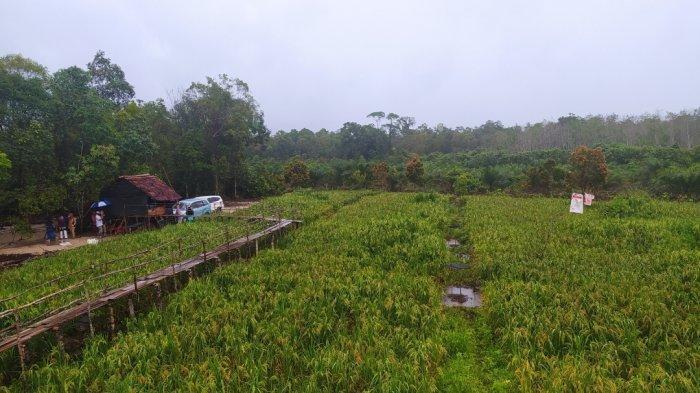 Potensi padi ladang (beras merah) Desa Sungai Buluh