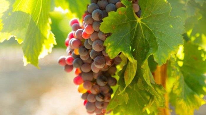 Perlu Dipahami, Ini Tips Menanam Anggur di Taman Rumah