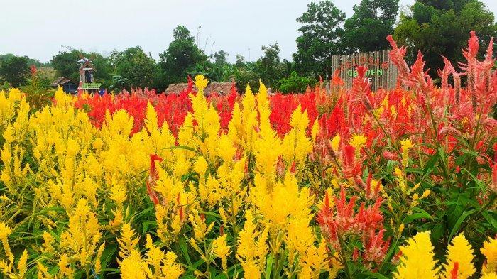Wisata Celosia Garden Ake