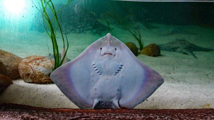 Ternyata Ini Racun Ekor Ikan Pari yang Bikin Bahaya, Simak Juga Cara Penanganannya