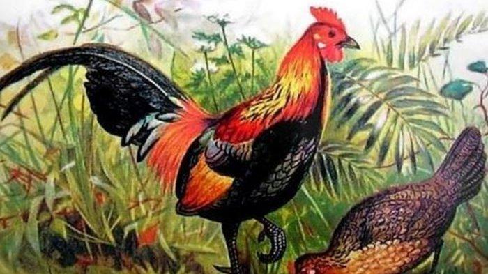 Ayam Berkokok di Malam Hari Ternyata Ramalan Cuaca Hari Esok, Bukan Mitos