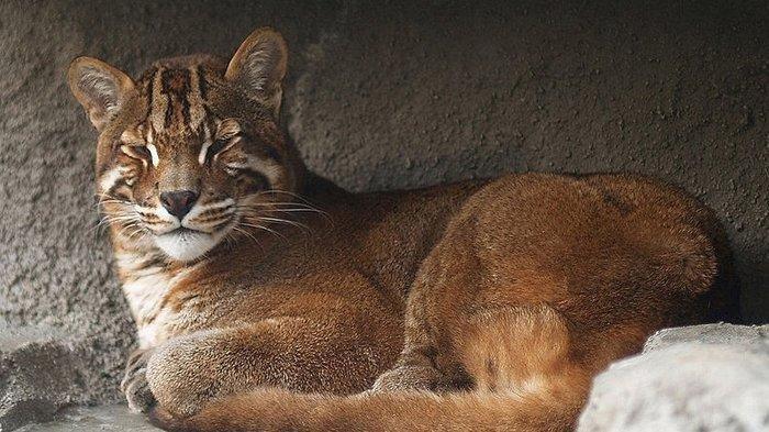 Sungguh Malang, Kucing Emas Langka yang Kena Perangkap Babi di Sumatera Barat Akhirnya Mati