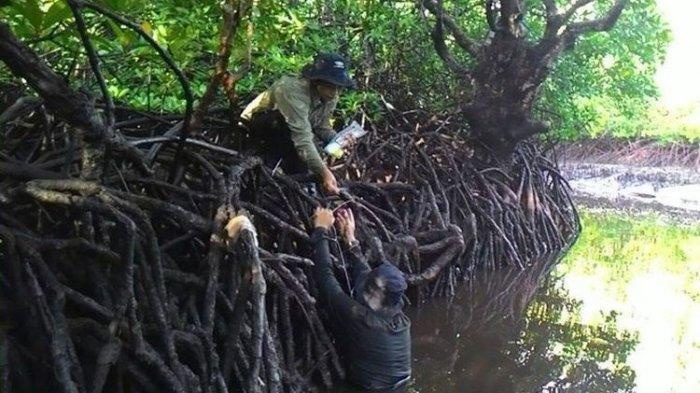 Menteri Edhy Probowo Jamin Hutan Mangrove Tak Dibabat Lagi, Lobster Tak Akan Punah
