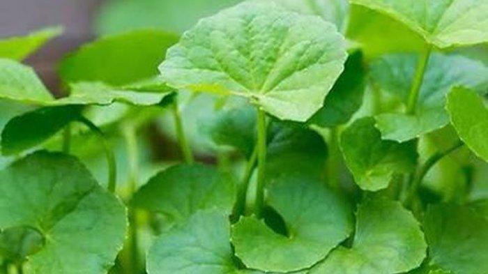 6 Tanaman Herbal yang Baik untuk Menjaga Daya Tahan Tubuh Saat Puasa