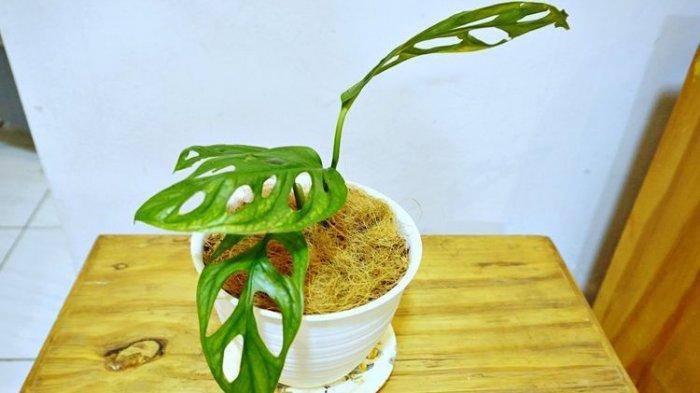 Mudah Ditemukan, Ini 5 Tanaman Hias yang Tetap Tumbuh di Ruangan Ber-AC