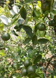 Desa Pangkalniur Siapkan Satu Hektare Lahan Untuk Kebun Jeruk Kunci