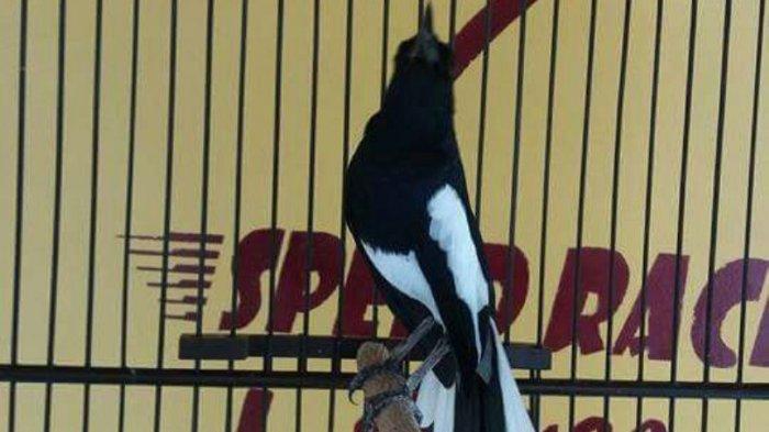 Burung Kacer Milik Ardy Ditawar H Mansur Rp 900 Juta, ini yang Terjadi Kemudian